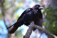 Crows grow up to 21 inches in length.