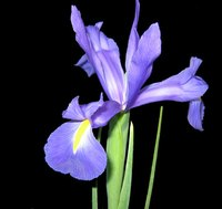 The iris is the traditional flower of the 25th wedding anniversary.