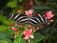 Passion flower vine is a larval plant for zebra longwing butterflies.