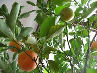 Orange trees are mature at about 10 years old.