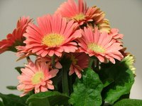 Gerbera daisies are beautiful flowers.