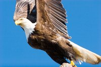 Study the different shades of brown and white on a bald eagle.