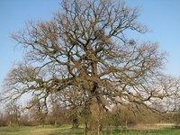 Depending on the criteria, oak trees mature at different ages.