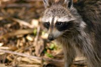 A raccoon could be the source of mysterious scampering noises heard in the basement.