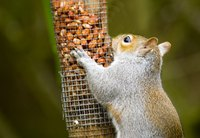 Keep squirrels away from your bird feeder with PVC pipes.