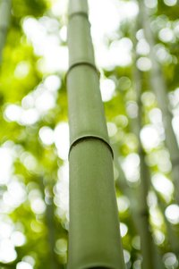Bamboo stalks are long and straight, providing the perfect material for a blowgun.