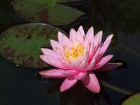 The water lily is a plant that grown all over the world.