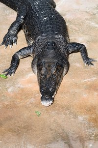 Alligators and crocodiles often end up as boots, belts, and handbags.