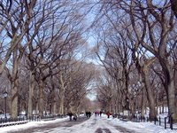 Elm trees lining Central Park in New York City
