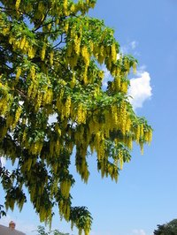 The golden chain tree is prone to several common tree diseases.