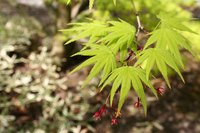 The botanical name 'palmatum' refers to the palm or hand-shaped leaf.