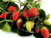 Strawberries are a popular choice for hanging baskets.