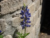 Bluebonnets are pretty, early spring flowers.