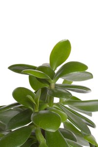 Healthy jade plants have glossy, green leaves.