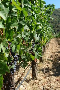 Check the leaves and the actual grapes of your vineyard.