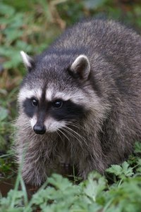 raccoons survive well in the wild, even in winter months