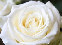 White roses are a meaningful Valentine's Day gift.