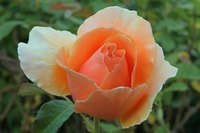 A coral rose can express desire.