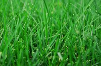 Zoysia is an excellent grass seed for dry areas.