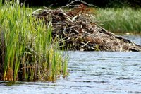Beavers build dams to help protect their homes.