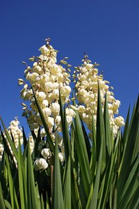 The roots of the yucca plant can be used to make soap, or ground and added to kitty litter to reduce odor.
