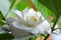 Fragrant gardenias make an ideal landscape shrub.