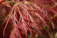 The Japanese maple, if planted in an ideal location, will rarely require water.