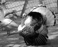 Clean your turkey feathers before using them.