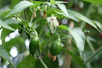 No disease symptoms show on this healthy jalapeno plant.
