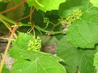 The sea grape provides habitat and nourishment to the local wildlife.