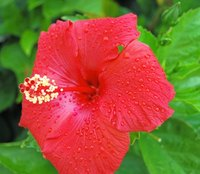 Hibiscus requires warm temperatures.