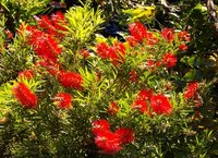 Bottle brush plants come in several different colors ranging from red to yellow.