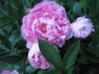 The peony is one plant that's native to China.