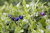 Blueberries are picky plants that require specific cultural conditions to thrive.