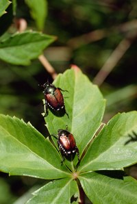 Japanese beetles are an extremely destructive species.