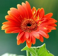 Gerbera daisies come in a wide range of colors.