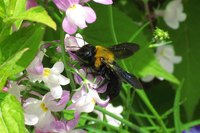 Carpenter bees are native to the United States.