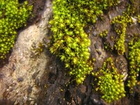 Moss green appears in nature as a muted shade of yellow green.