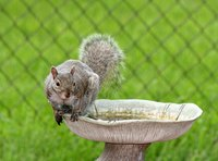 A squirrel enjoys a dip in the cement bird bath, too.