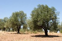 Olive trees may turn yellow as a result of water or nutrient deficiencies.