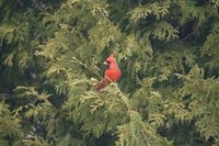A cardinal perching in a red cedar tree