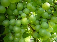 Grow a variety of grapes to suit your needs, such as table grapes or wine grapes.
