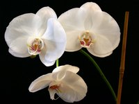 Healthy, blooming orchid