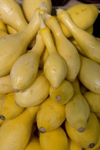 Summer squash plants yield ample harvests.