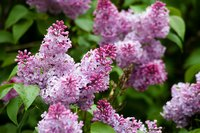 Lilacs produce beautiful clusters of fragrant flowers.