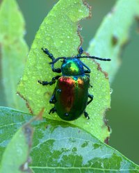 Adult Japanese beetles and their grubs can wreak havoc with gardens and lawns.
