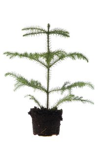 Norfolk Island Pines are common houseplants.