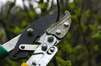 Pruning shears are used to tip prune deciduous trees and shrubs.