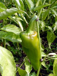 Poblano peppers are green when they are young.