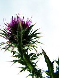 Scottish thistle is a common roadside weed.